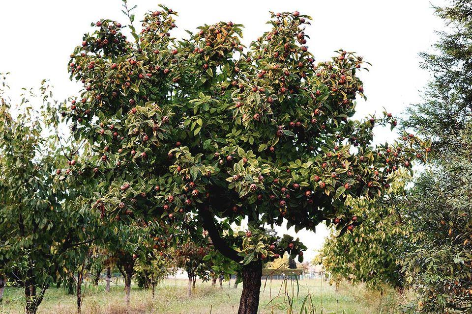 Mispel - alte Obstbaumsorte im Pflanzenlexikon