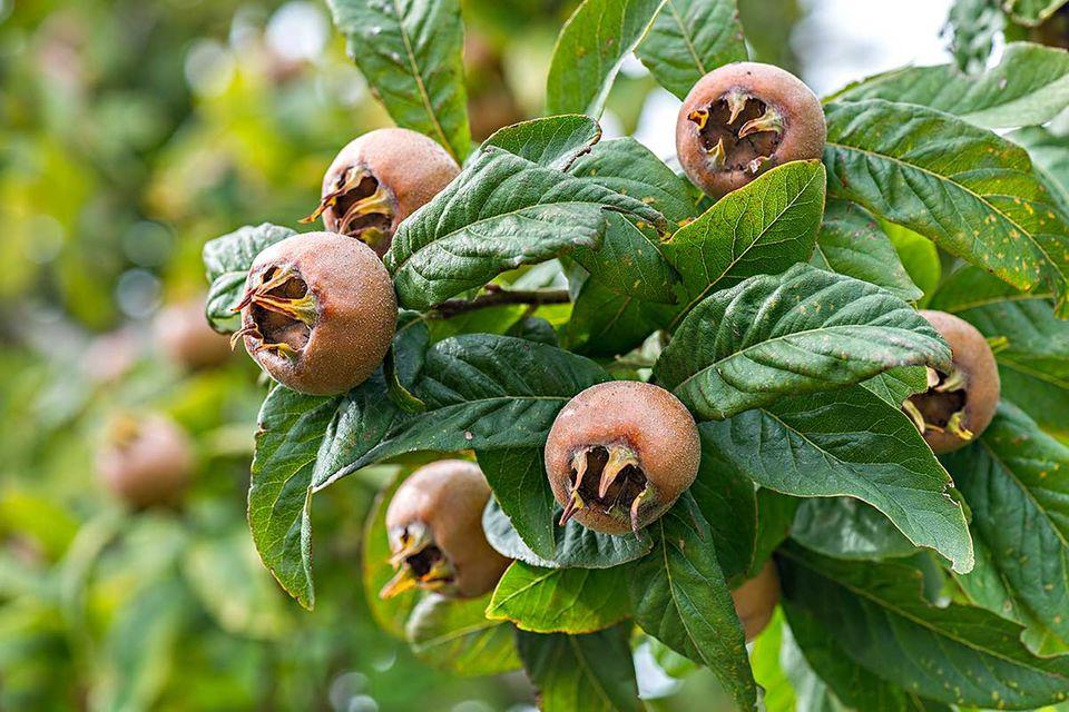 Mispel - die Früchte der alten Obstbaumsorte