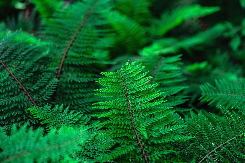 Schildfarn mit grünen Wedeln - Pflanzenlexikon