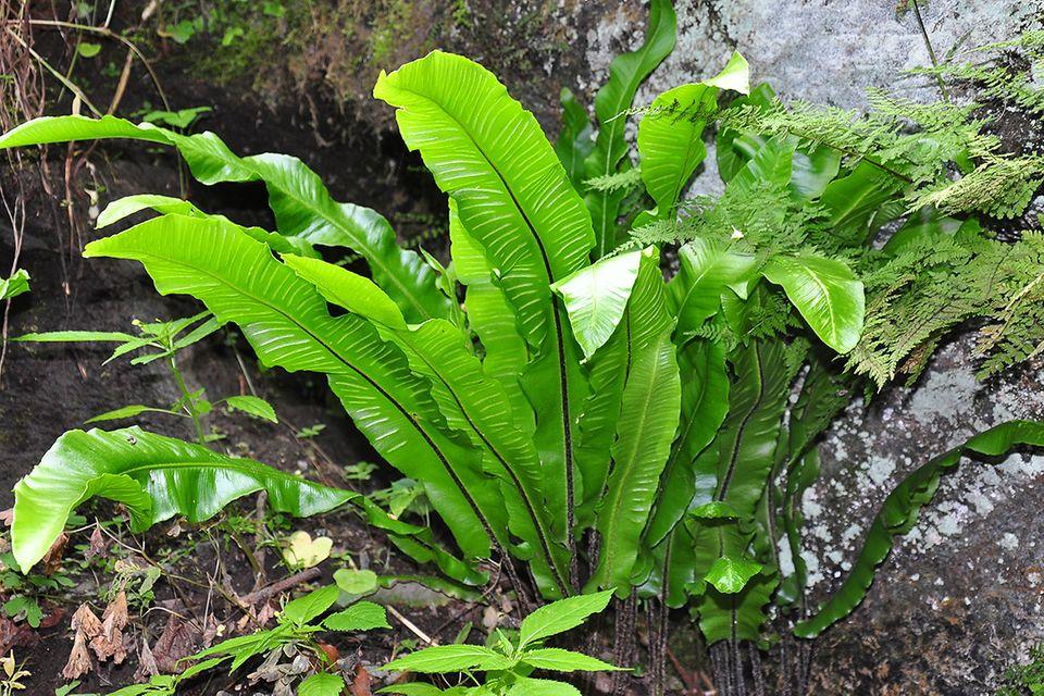 Hirschzungenfarn hat lange Blätter mit geschlossenem Rand - Pflanzenlexikon
