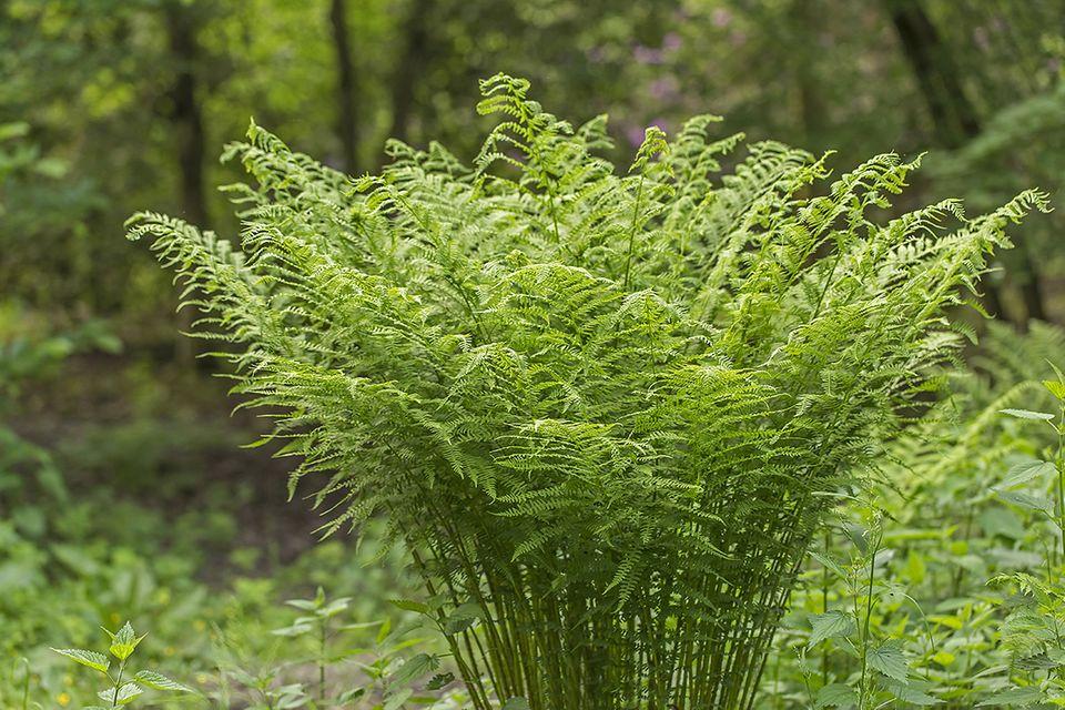 Wurmfarn ist eine einheimische Farnart - Pflanzenlexikon