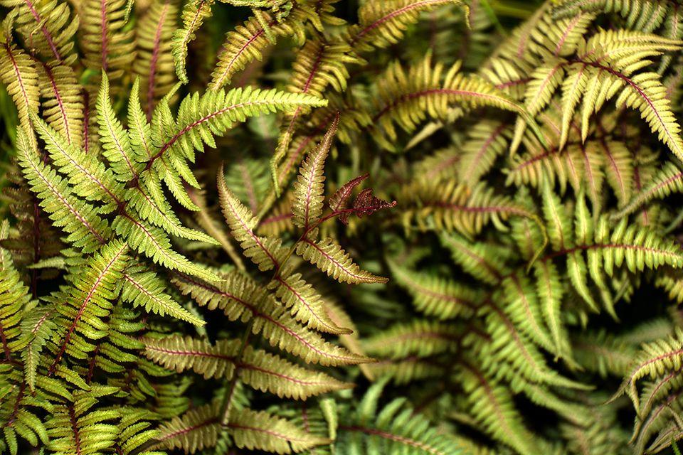 Regenbogenfarn mit hellen Blättern und dunkler Mittelrippe - Pflanzenlexikon