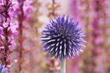 Kugeldistel in Violett - Pflanzenlexikon