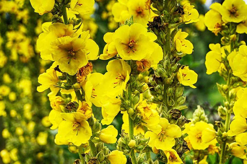 Verbascum nigrum - Königskerze