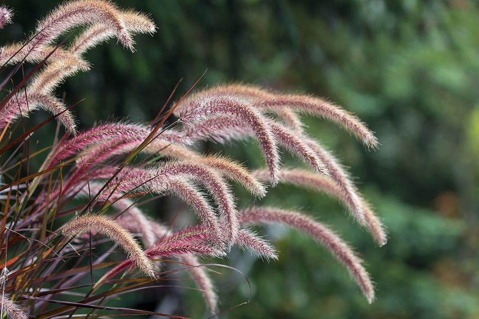 Rotes Lampenputzergras (Pennisetum setaceum 'Rubrum')