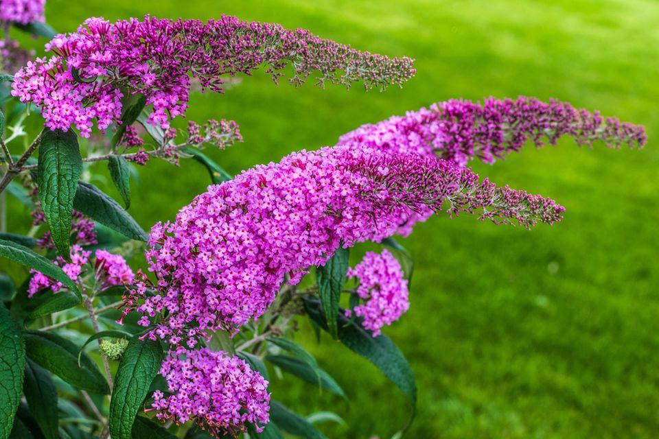 Schmetterlingsflieder, Buddleja davidii