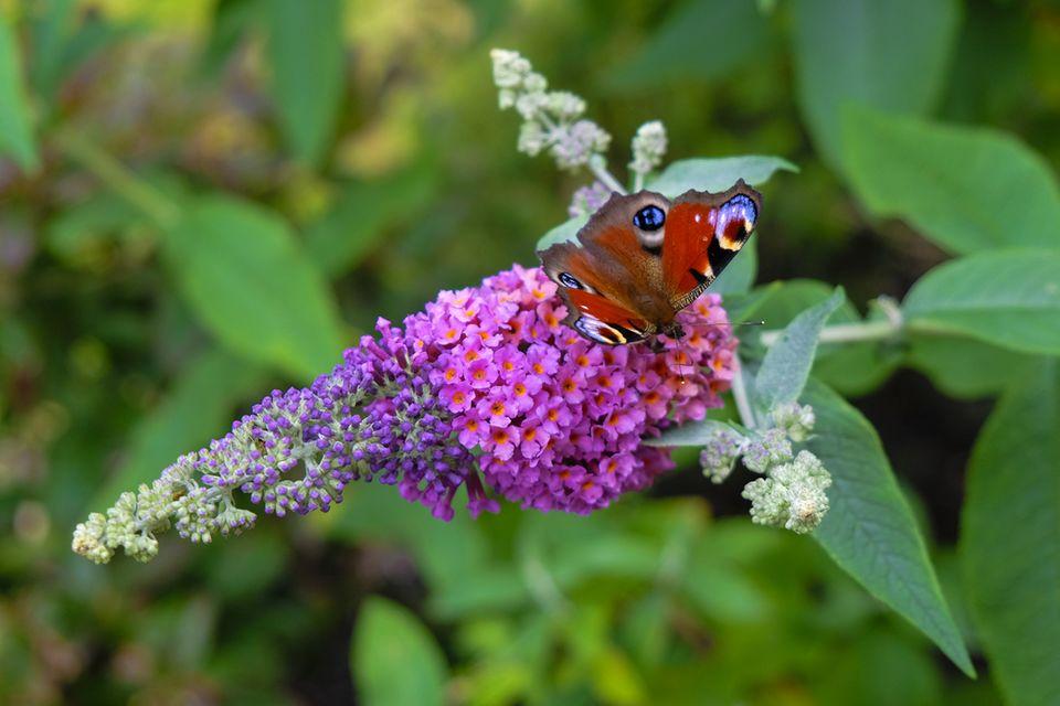 Schmetterling auf Schmetterlingsflieder (auch: Sommerflieder, Buddleja davidii)