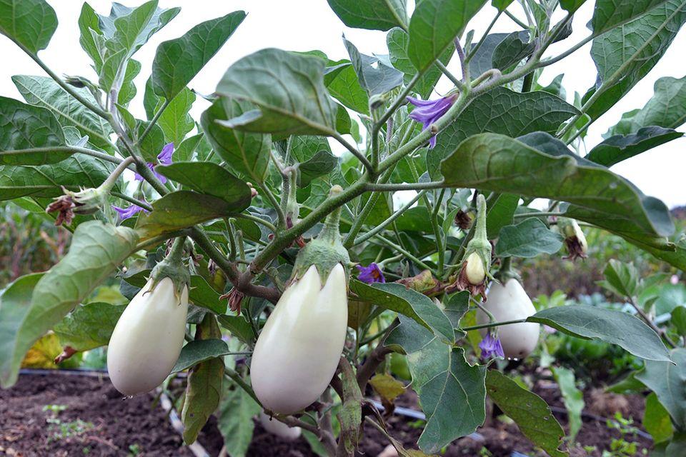 Eierbaum mit Früchten - Pflanzenlexikon