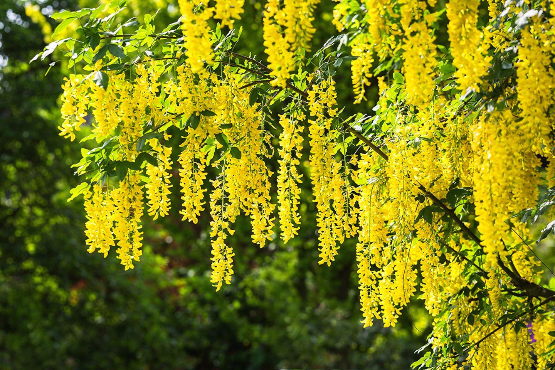 Goldregen mit üppigen Blütendolden - Pflanzenlexikon