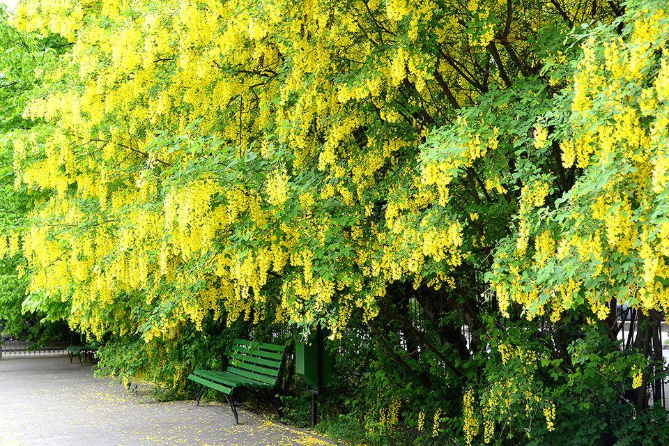 Blühender Goldregen - Pflanzenlexikon