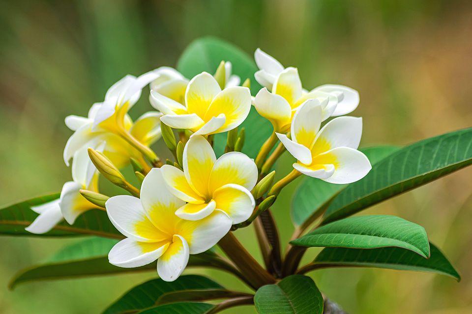 Frangipani - Blüten in Weiß-Gelb - Pflanzenlexikon