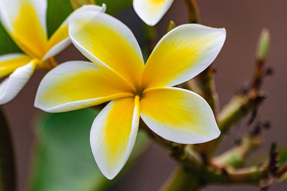 Blüte einer Frangipani - Pflanzenlexikon