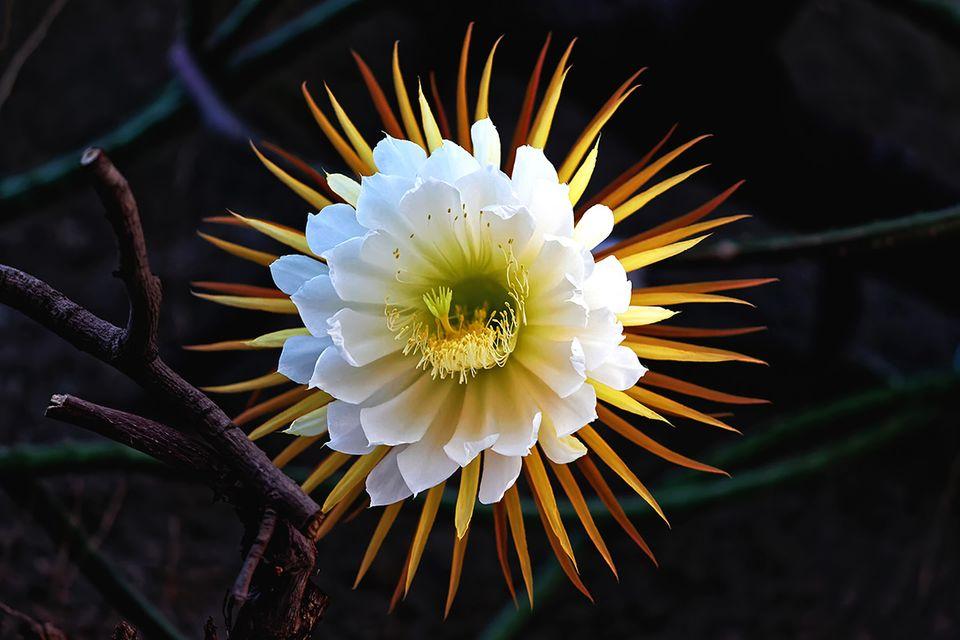 Königin der Nacht - Schlangenkaktus mit Blüte - Pflanzenlexikon