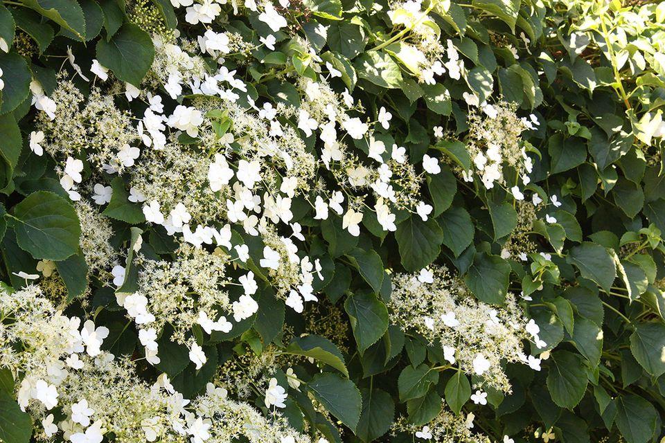 Kletterhortensie mit weißen Blüten - Pflanzenlexikon