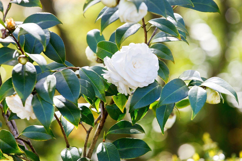 Gardenie mit weißer Blüte - Pflanzenlexikon