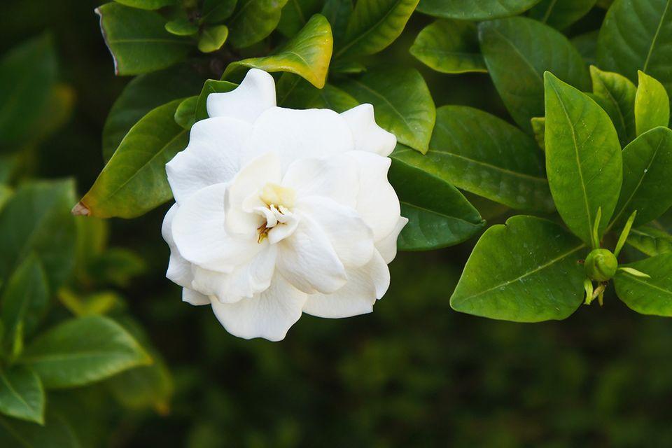 Die weiße Blüte einer Gardenie - Pflanzenlexikon