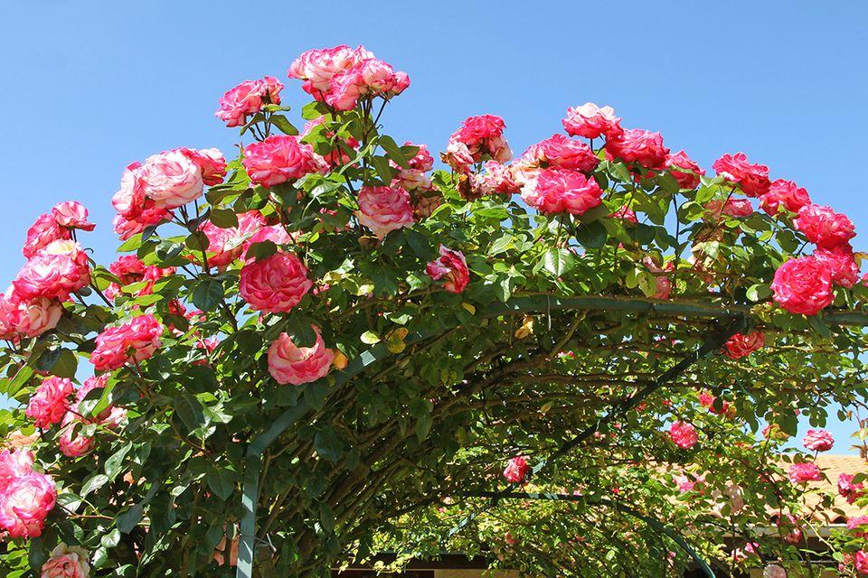 Kletterrosen beranken einen Rosenbogen