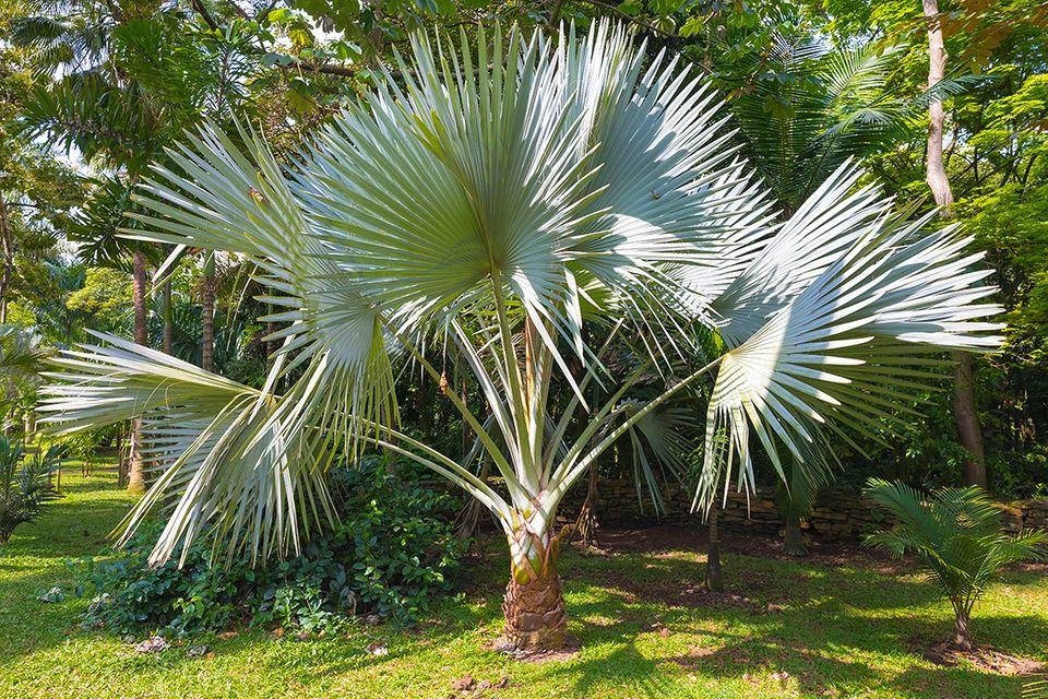 Hanfpalme mit fächerförmigen Blättern