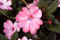 Blüte eines Fleißigen Lieschens