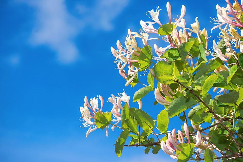 Geißblatt mit Blüten