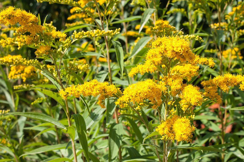 Gelb blühende Goldraute