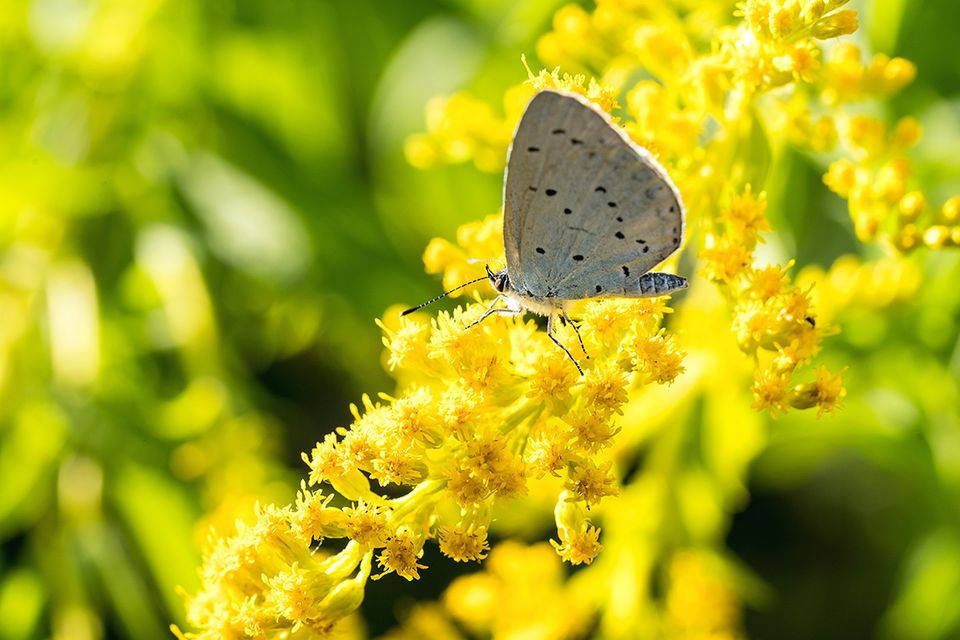 Goldrute mit Schmetterling