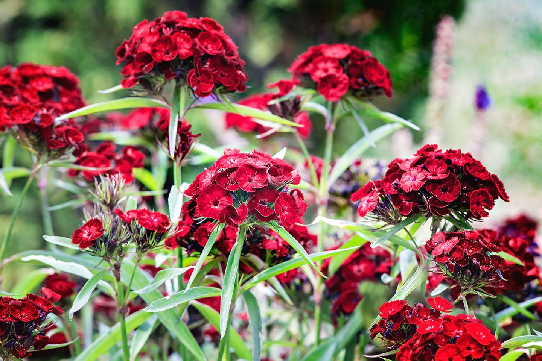 Rot blühende Bartnelke