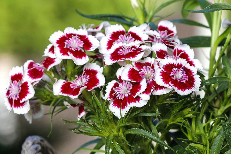 Bartnelke mit zweifarbigen Blüten