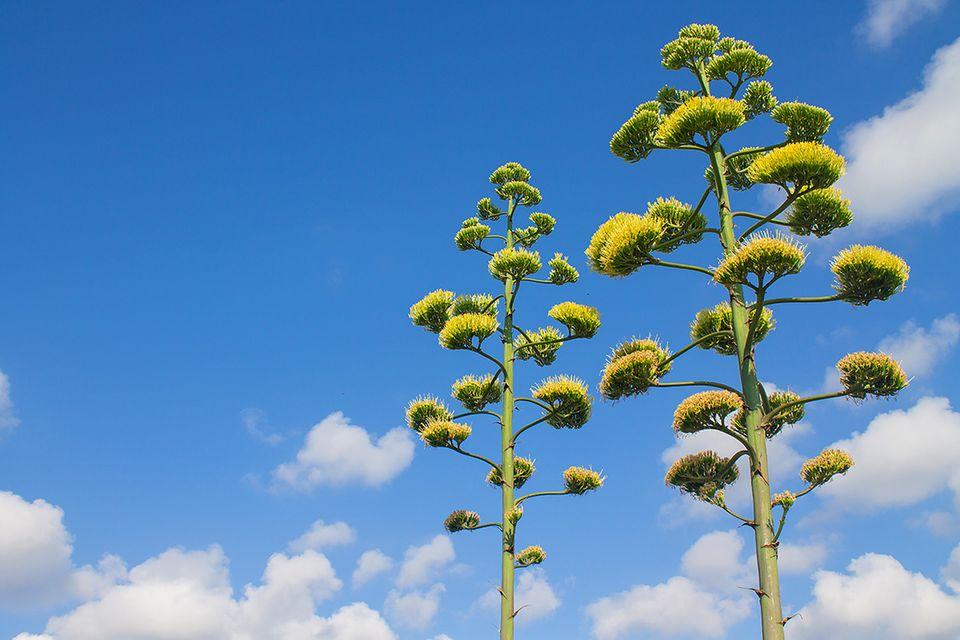 Blühende Agave vor blauem Himmel