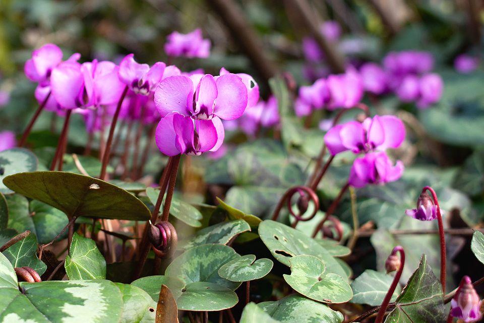 Europäisches Alpenveilchen mit lila Blüten