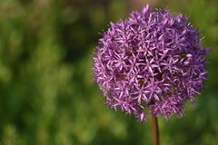 Zierlauch (Allium spec.) - Bild 2