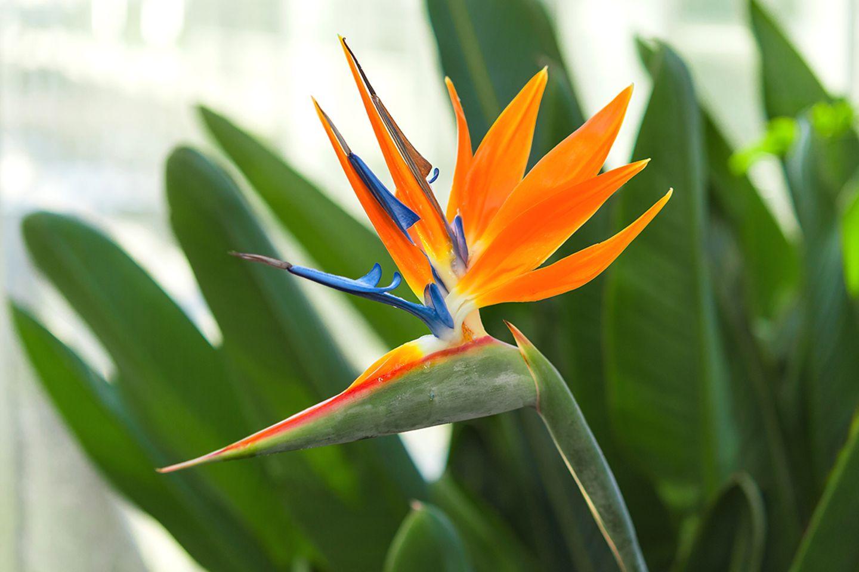 Strelitzia reginae mit geöffneter Blüte