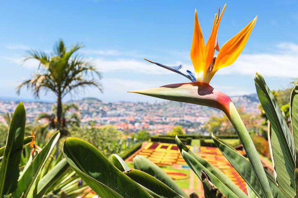 Strelitzia reginae mit geöffneter Blüte auf Madeira