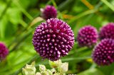"Kugelförmiger Lauch ""Allium sphaerocephalon"""