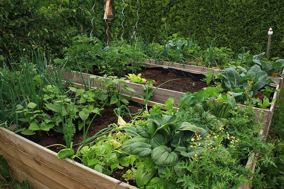Grünes Gemüse in einem Hochbeet.