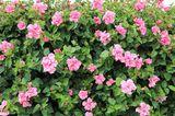 Hibiskus (Hibiscus) als Hecke und Sichtschutz