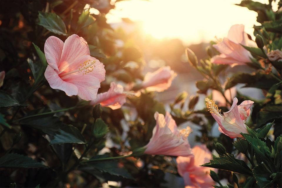 Hibiskus (Hibiscus) mit rosa Blüte in der Abendsonne