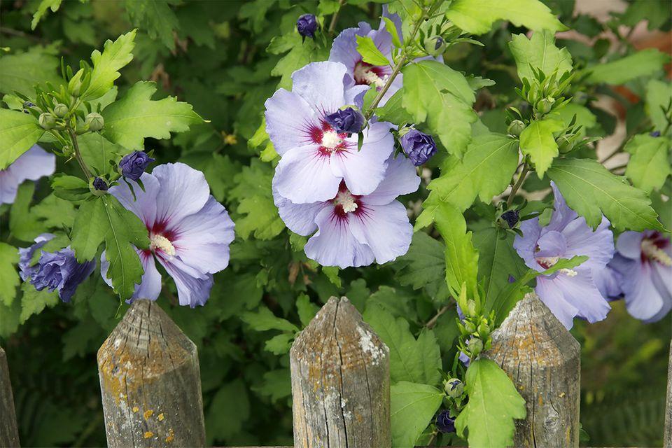 Hibiskus (Hibiscus) mit blauer Blüte am Gartenzaun