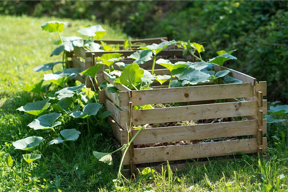 Kürbis wachsen auf dem Komposthaufen