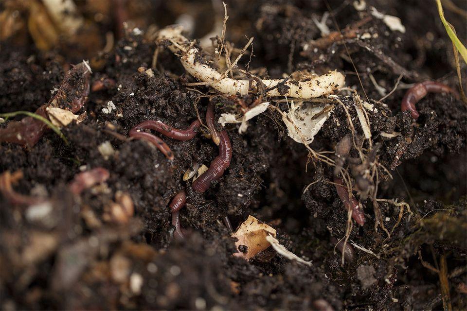 Regenwürmer in einem Komposthaufen
