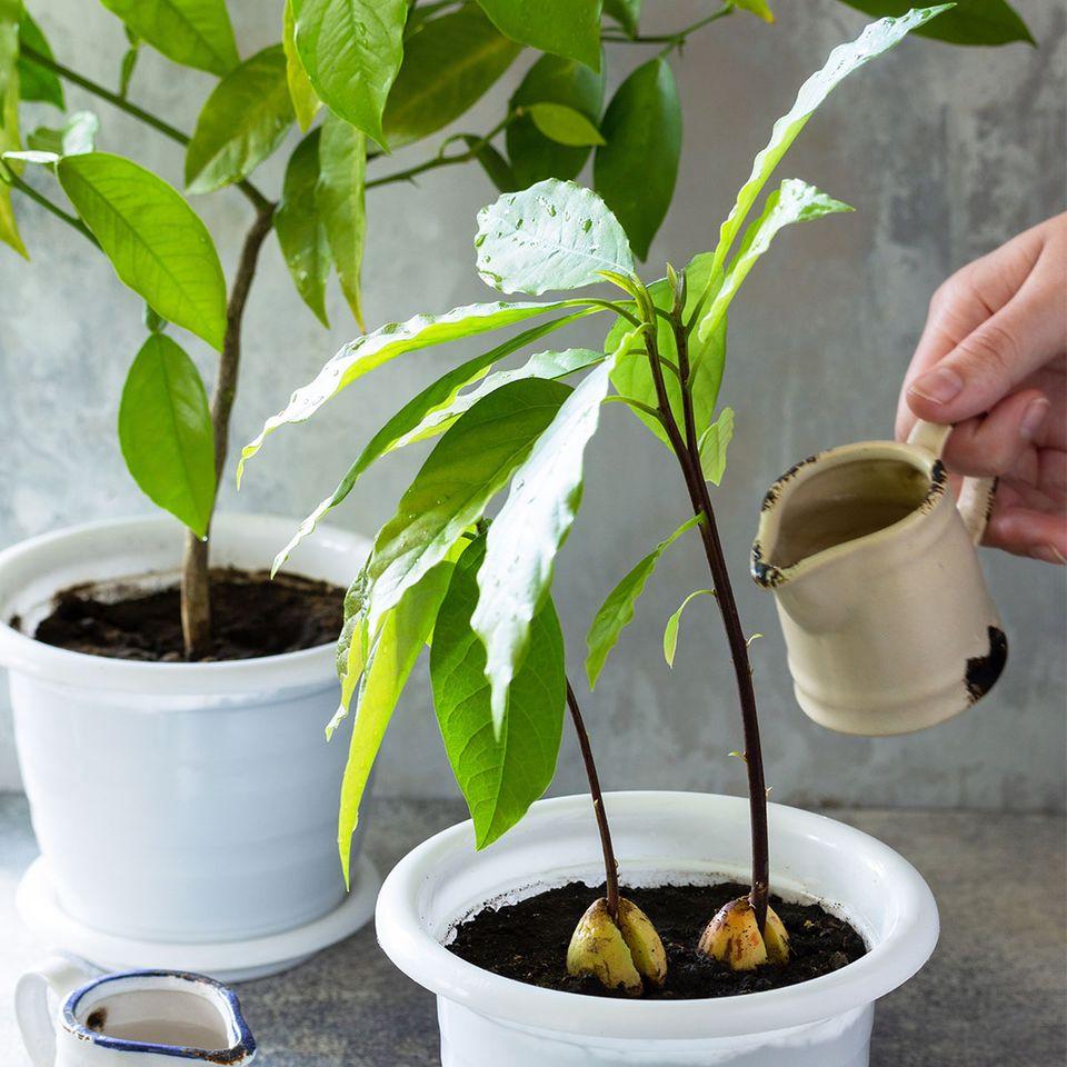 Persea americana: Avocadobäumchen selber ziehen und mit Wasser regelmäßig gießen