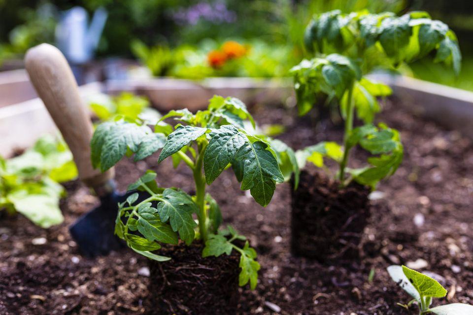 Tomatenpflanzen werden im Mai in ein Hochbeet gepflanzt.