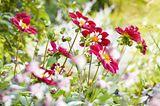 Rot-weiß blühende Blumen