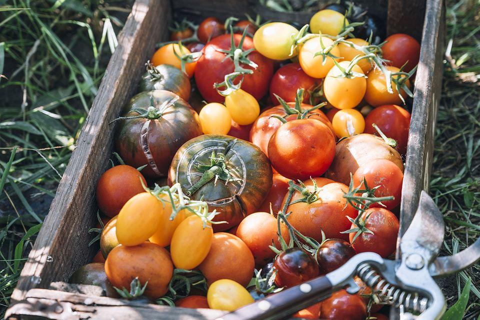 Tomaten: Verschiedene Sorten in einer Kiste