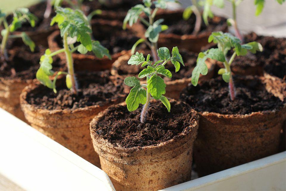 Junge Tomaten in Töpfen, bereit zum Pflanzen