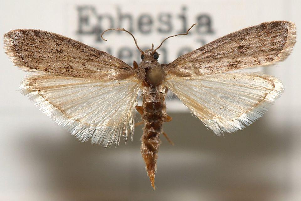 Silbrig-brauner Mehlmottenfalter (Ephestia kuehniella) mit ausgebreiteten Flügeln