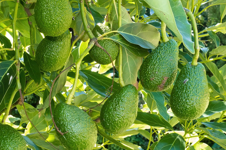 Persea americana: Avocado-Baum, Avocado