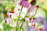 Bienenweide mit rosa blühenden Blumen