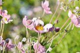 Eine Anemone mit Biene