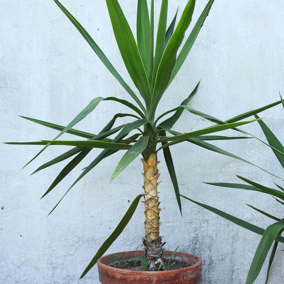 Yucca-Palme im Topf